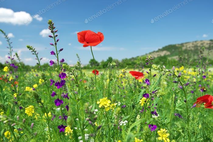 Red poppy flower portrait in green meadow on blue sky