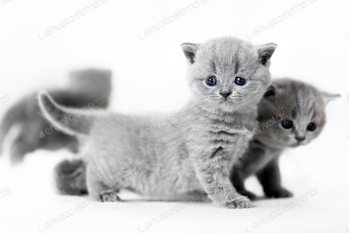 Blue-eyed baby cats standing. British shorthair.