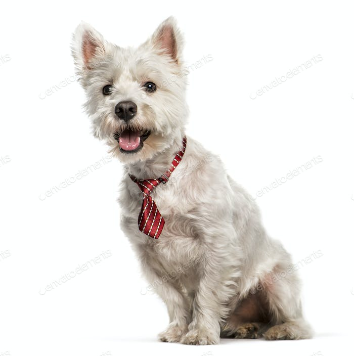 West Highland White Terrier sitting in front of white background