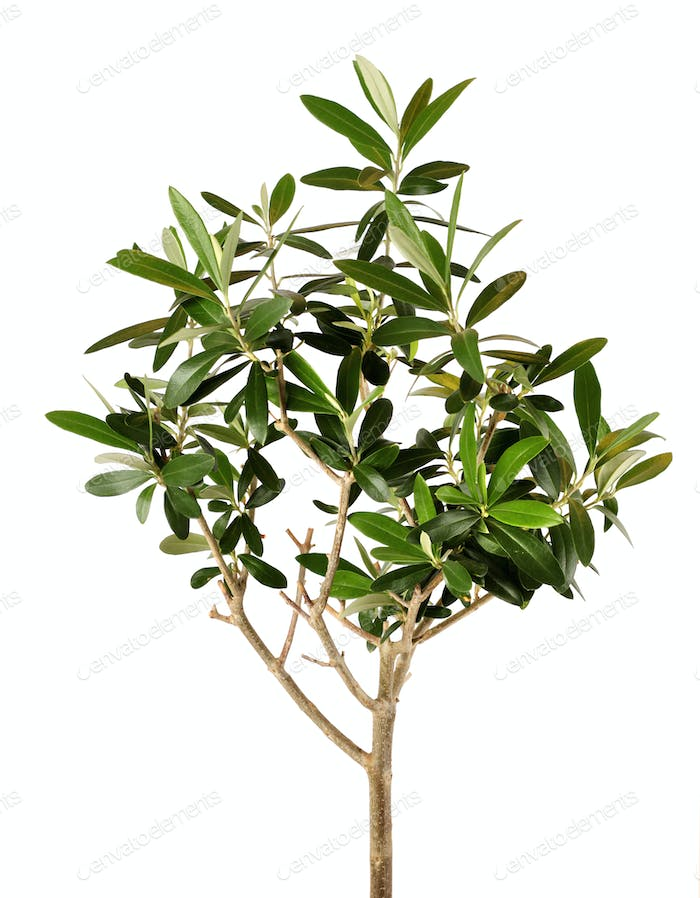 Young olive tree closeup