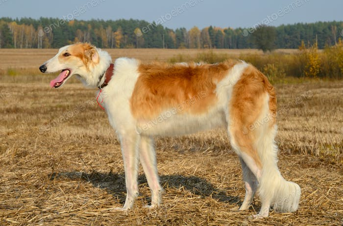 Hunting borzoi dog