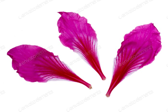 Pink Flower petals on white background