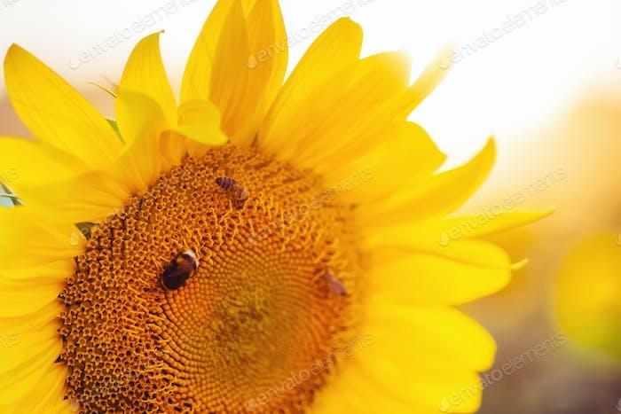Biene sammelt Nektar aus Sonnenblume.