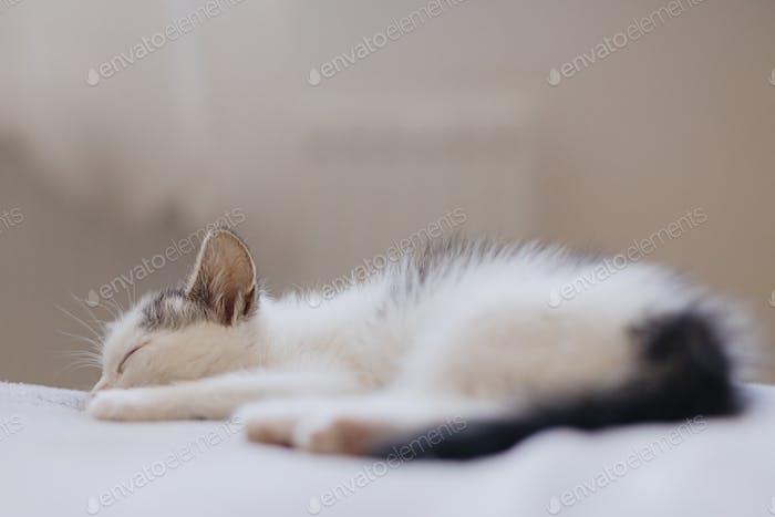 Cute little kitten sleeping on soft bed. Portrait of adorable sleepy kitty on blanket. Sweet dreams