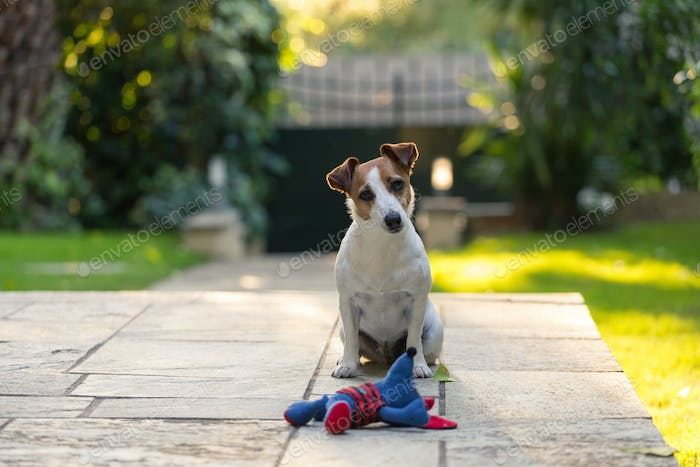 Jack Russell with toy