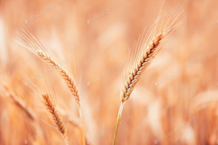 Ripe barley ears in field, selective focus