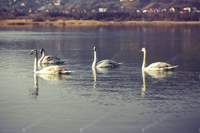 Swans on blue lake