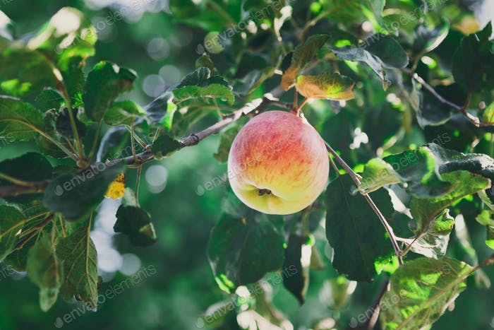 Red ripe apple on branch closeup of tree in garden