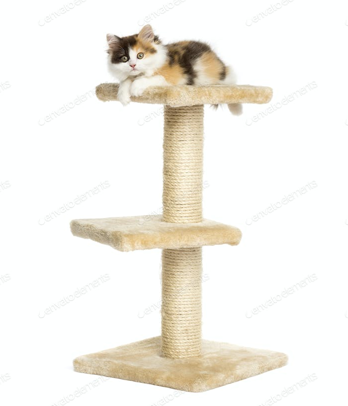 Higland straight kitten on top of a cat tree, isolated on white