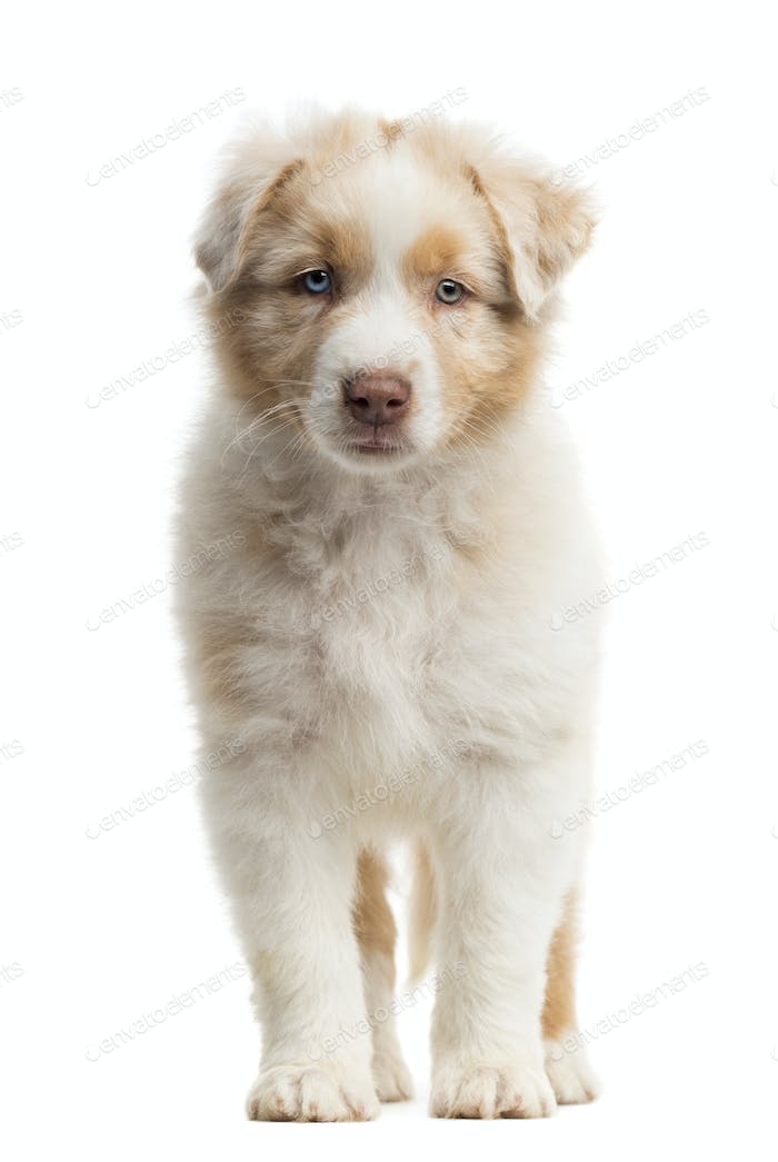 Front view of an Australian Shepherd puppy, 8 weeks old