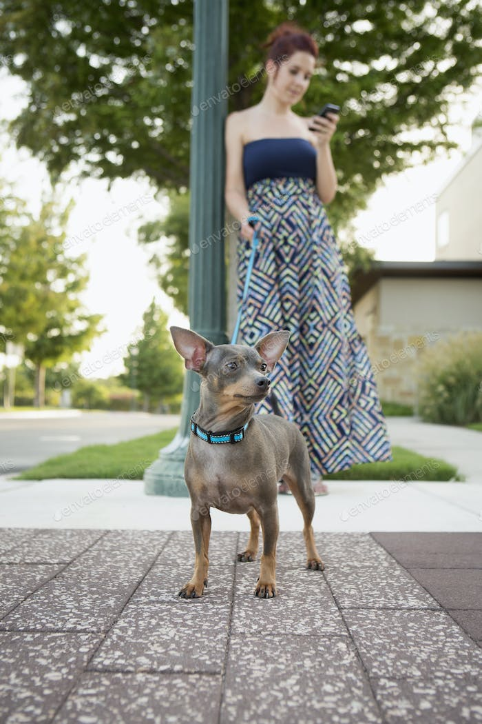 A woman looking at her phone, holding a small dog on a lead.
