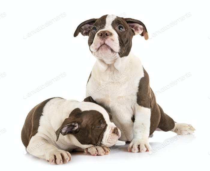 puppies american bully
