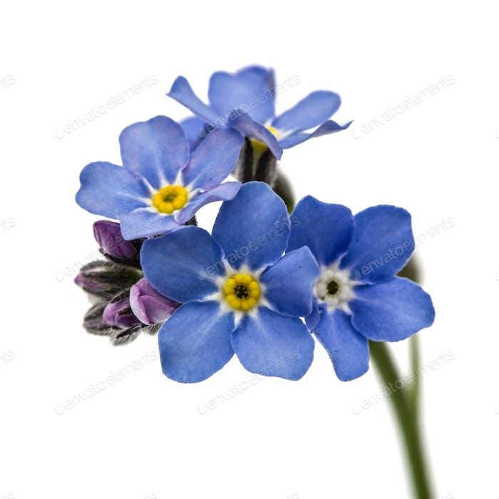 Light blue flowers of Forget-me-not (Myosotis arvensis), isolate