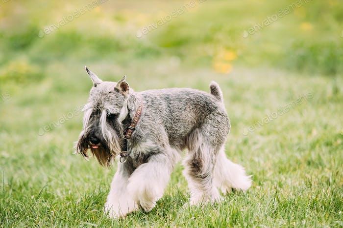 Small Miniature Schnauzer Dog Zwergschnauzer Play Outdoor In Gre