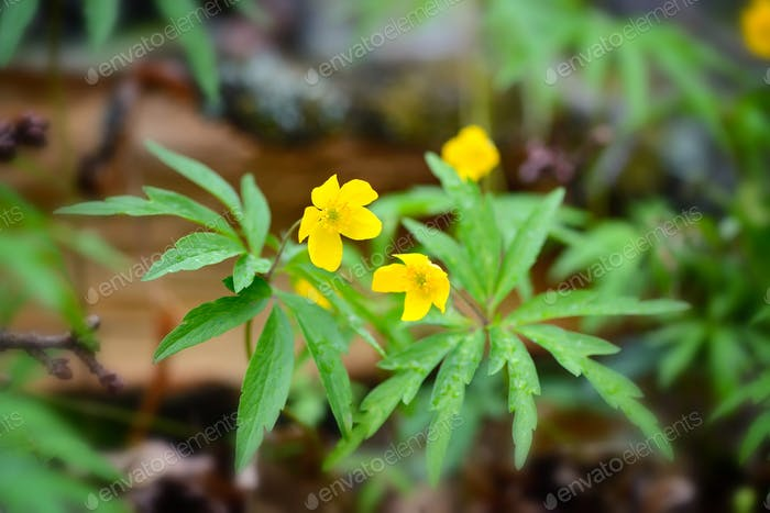 The yellow wood anemone (in Latin: Anemone Ranunculoides) blooms
