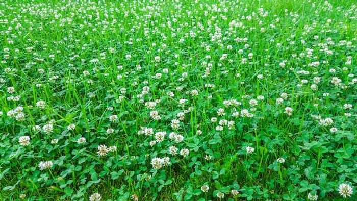 Planta medicinal, campo de trébol blanco.