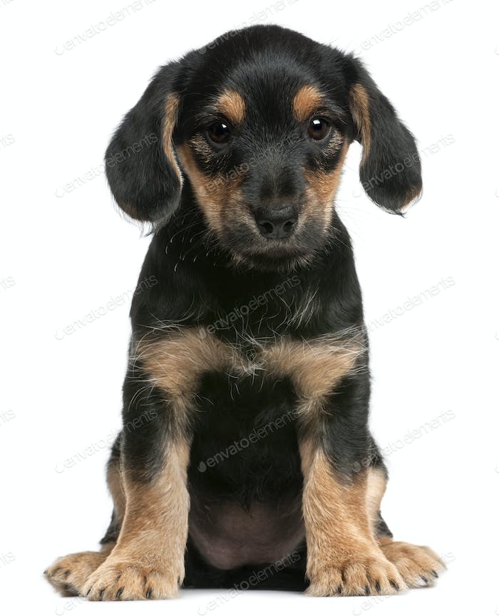 Mixed breed puppy sitting in front of white background