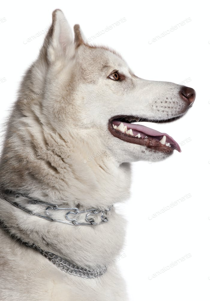 Close-up of Siberian Husky, 1 year old, in front of white background