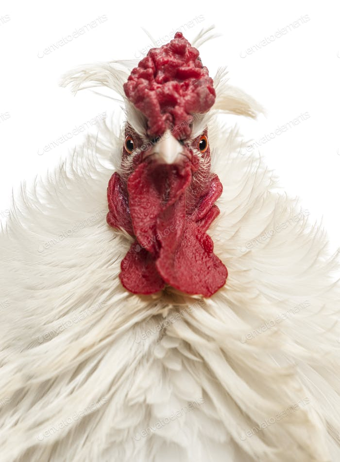 Close up of a curly feathered rooster looking at the camera, isolated on white