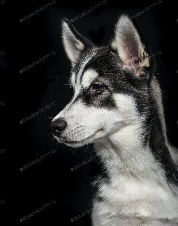 Siberian Husky puppy (5 months old) on black background