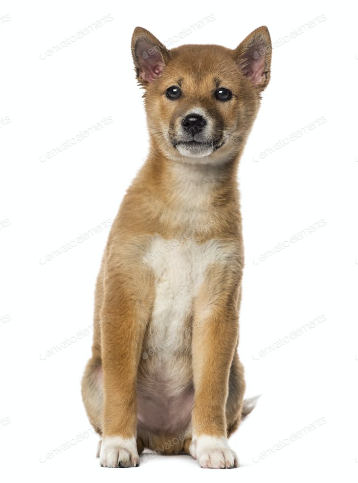 Shiba Inu puppy sitting (3 months old), isolated on white