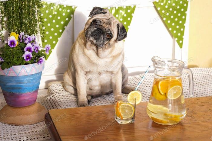 Gewichtsverlust mit Diät-Konzept. fett schön hübscher Mopshund