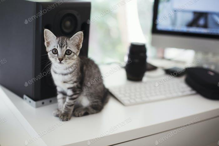 Nahaufnahme der grauen Tabby Katze sitzt auf dem Schreibtisch neben Computer und Lautsprecher.