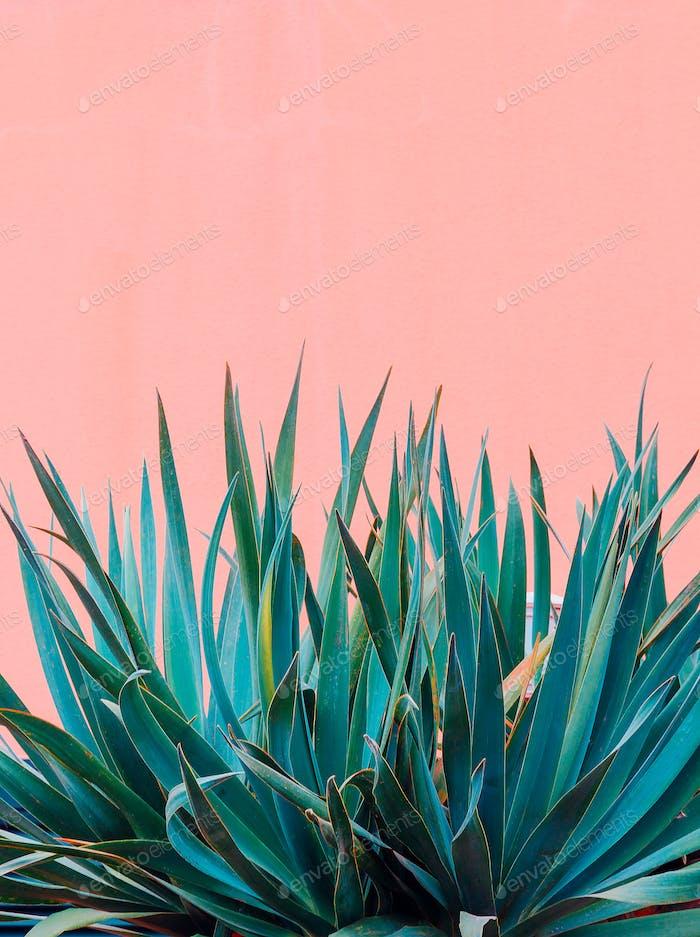 Pflanzen auf rosa Konzept. Kanarienpflanze auf rosa Wand
