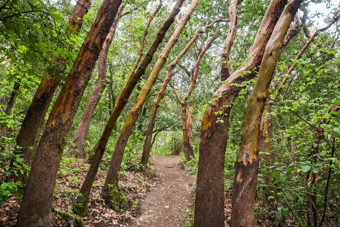Madrone trees forest