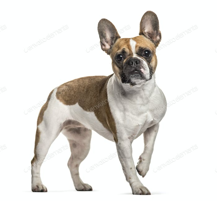 French Bulldog , 3 years old, standing against white background