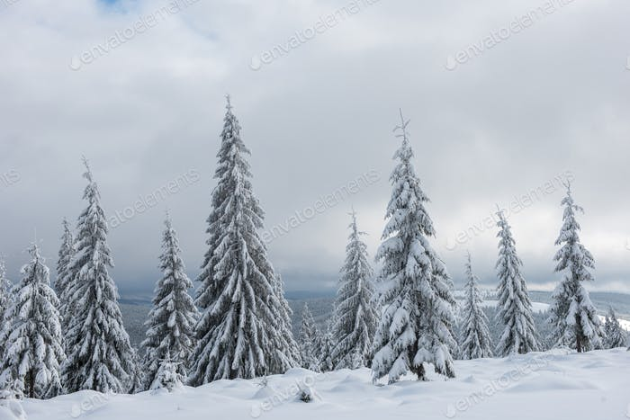 Amazing winter landscape with snow covered fir tree forest