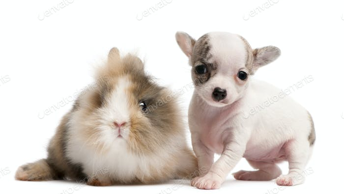 Chihuahua puppy, 10 weeks old, and rabbit in front of white background