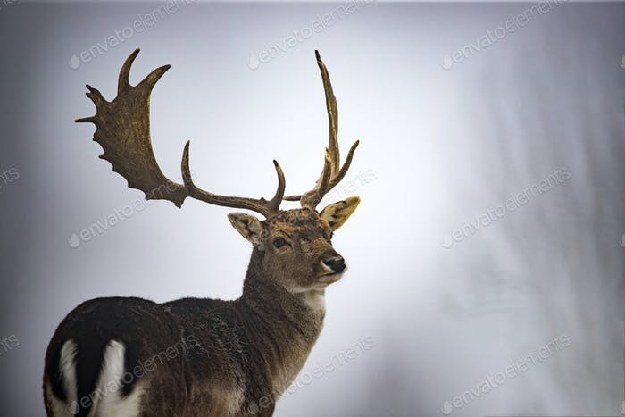 Red deer in snow