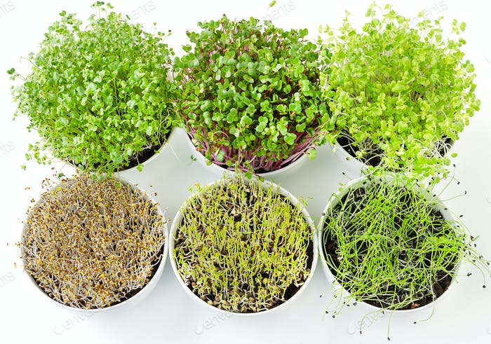 Six microgreens and sprouts in white bowls from above