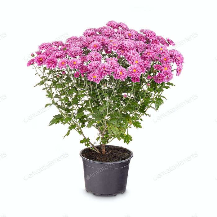 Blühende rosa Chrysantheme