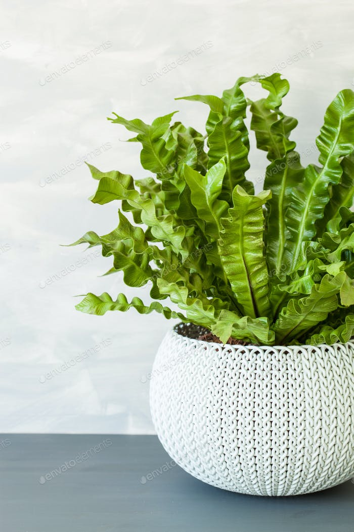 houseplant Asplenium nidus in white flowerpot