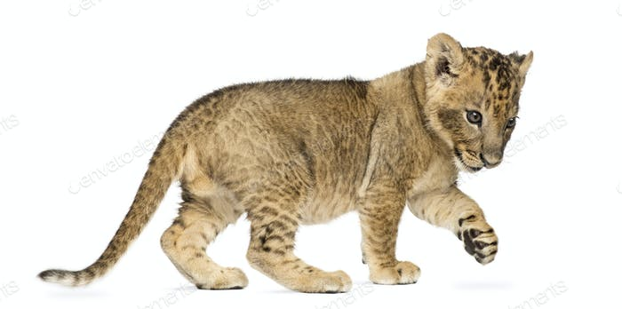 Side view of a Lion cub standing, pawing up, 7 weeks old, isolated on white