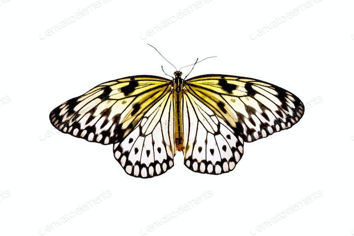 Butterfly Idea Leuconoe