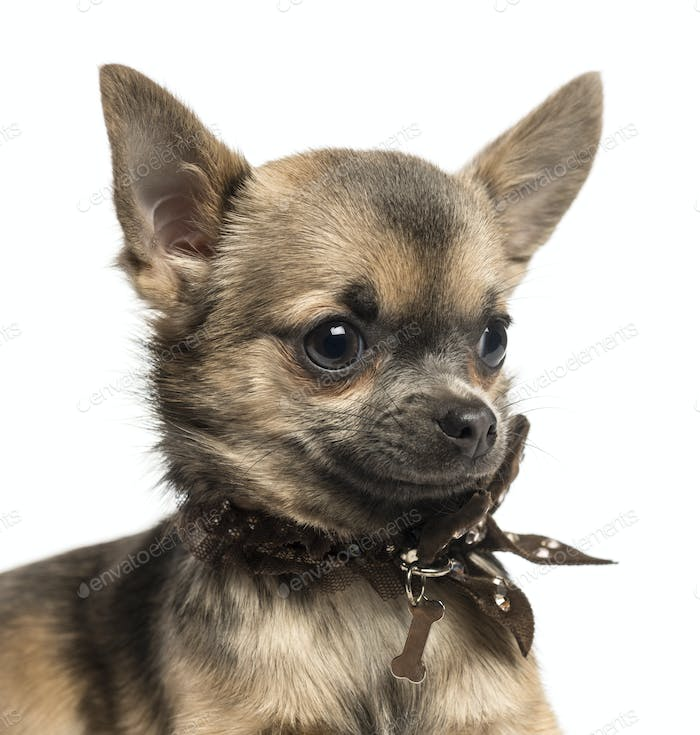 Close-up of a Chihuahua puppy with fancy dog collar, isolated on white