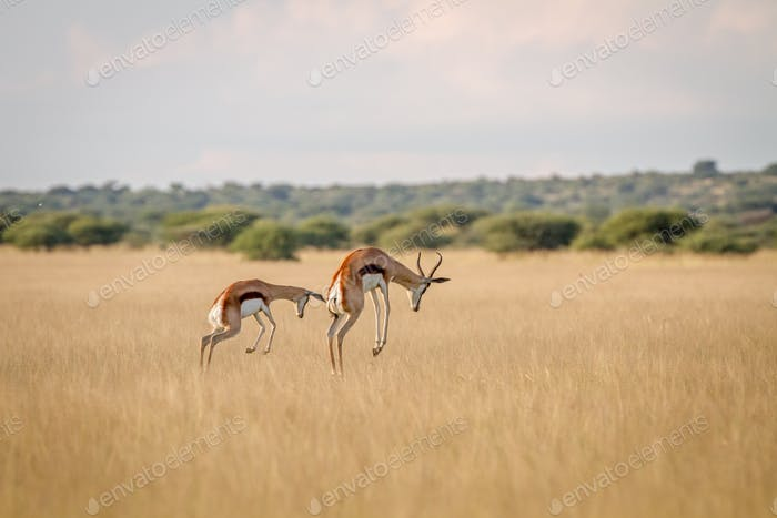 Two Springboks pronking in the high grass.