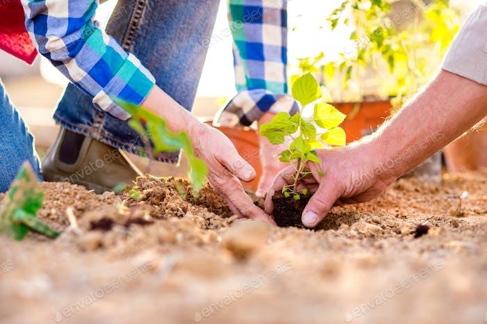 Nahaufnahme der Hände, ältere Paar Pflanzung kleinen Sämling