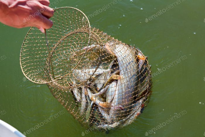 Freshwater fish caught in a fishing trap close