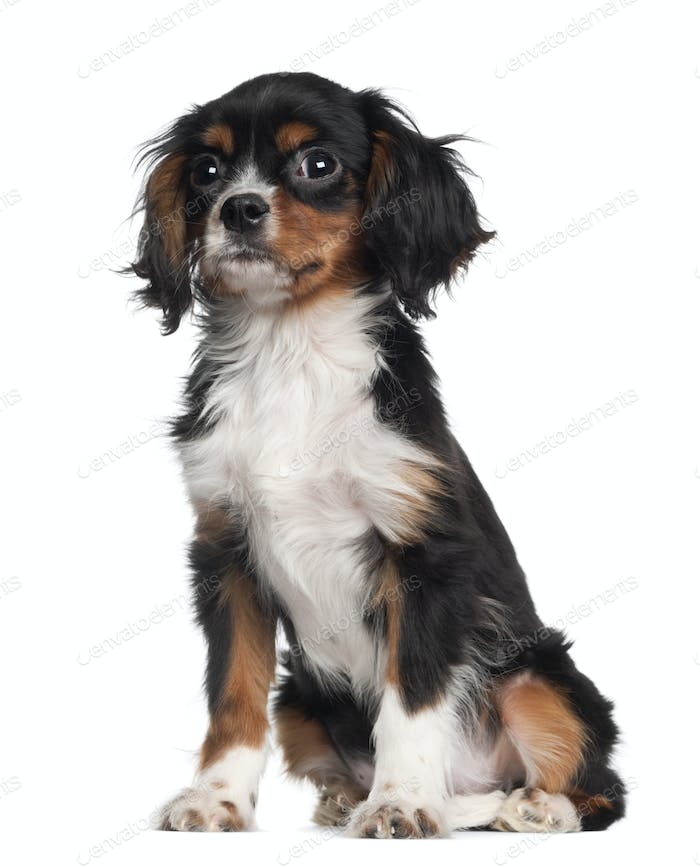 Cavalier king Charles puppy sitting against white background