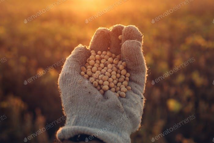 Soybean farmer handful of harvested crop seed