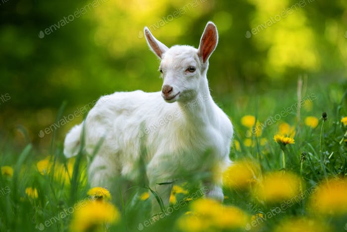 White baby goat standing on green grass