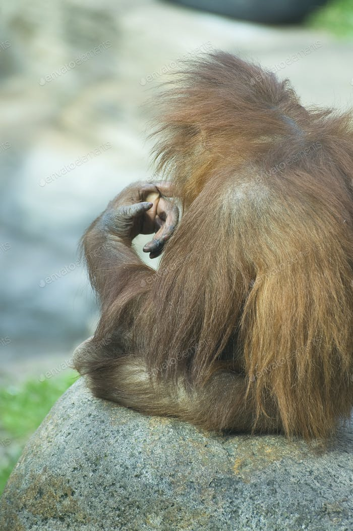 Ponderer baby orangutan.