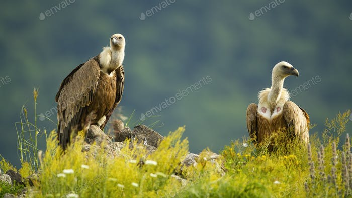 Two majestic griffon vultures sitting on rocks in summer