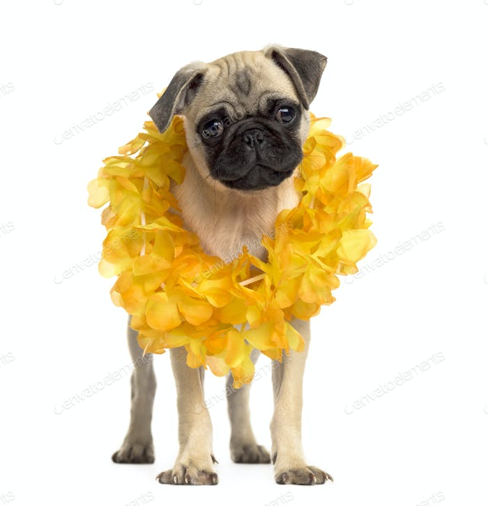 Pug standing wearing a hawaiian lei, isolated on white
