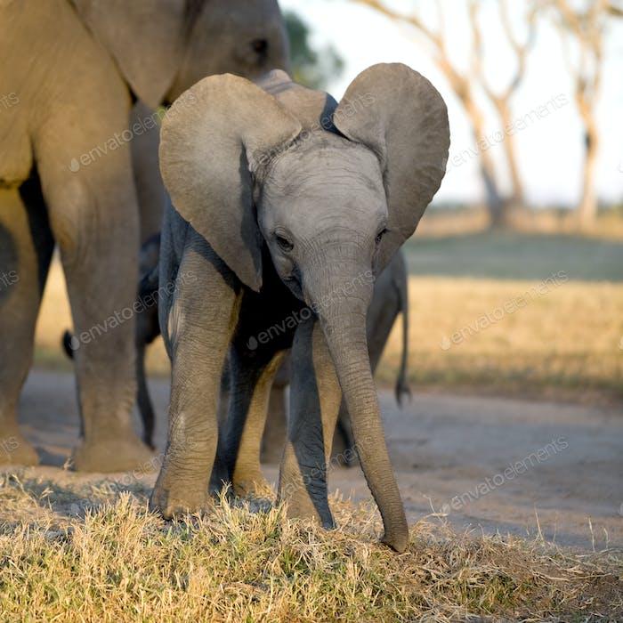 Elefantenkalb