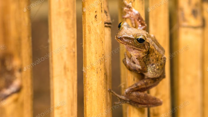 Close up of Beautiful Frog on Dry Bamboo Stick. Front Short Perspective. Koh Tao, Thailand